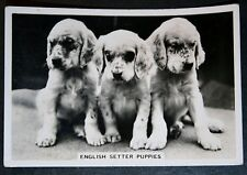 English Setter Puppies    Original Vintage Photo Card ## VGC