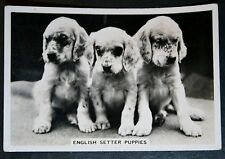 English Setter Puppies   1930's Original Vintage Photo Card  VGC