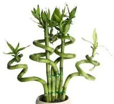 "40 Seeds Lucky Bamboo Plant ""Seeds"" bring happiness and prosperity (Not Plant)"
