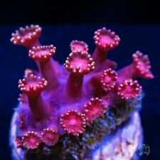 Pink Goniopora ~ Wysiwyg Live Coral Frag ~ World Wide Corals ~ #08