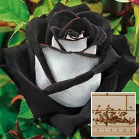 200Pcs Charm White + Black Beautiful Rose Flower Plant Yard Garden Rare Seeds FL