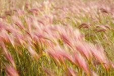 Foxtail Barley (Hordeum jubatum) 150 seeds