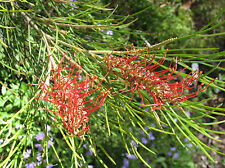 Honey Eater Heaven Grevillea tetragonoloba seed Drought/Frost OK long flowering