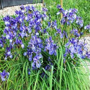 Iris Missouriensis- 50 Seeds