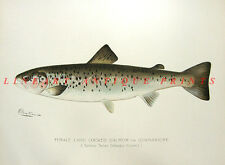 LANDLOCKED BAY ATLANTIC SALMON Ouananiche ~ Old 1897 DENTON Game FISH Art Print