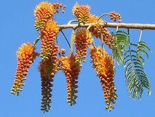 20  Colvillea racemosa Seeds, Colville's Glory Tree, Whip Tree