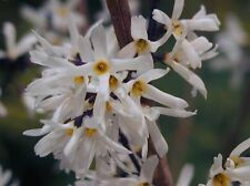 C2   Weiße forsythia Abeliophyllum distichum