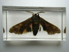 POPLAR SPHINX PACHYSPHINX OCCIDENTALIS. Real moth embedded in casting resin.