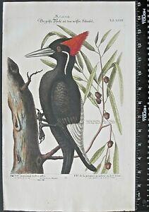 Catesby Seligman,largest  Woodpecker,Picus maximus rostro albo,handc.engr.1749