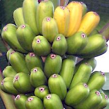 Hua Moa Musa Cooking Banana Plant Live Fruit Tree Tropical