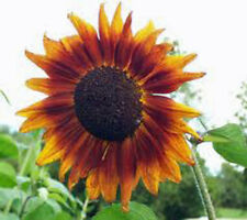 Sunflower, Autumn Beauty 25+ Seeds Organic Newly Harvested
