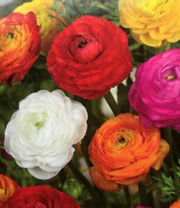 10 RANUNCULUS-PERSIAN BUTTERCUP GARDEN PERENNIAL SUMMER FLOWER BULBS/CORMS PLANT