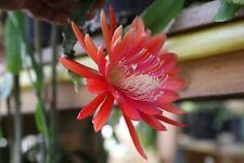 "Epiphyllum Blattkakteen Epicactus ""Aristokrat"" Steckling"