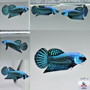 """Wild Type Betta """"Alien Peacock"""" Green + Blue Male Pure Blood from Thailand"""