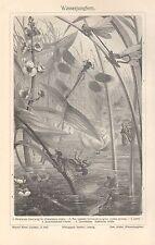 Wasserjungfern Libelle Libellen  Binsenjungfer (Lestes sponsa) Holzstich ~1900