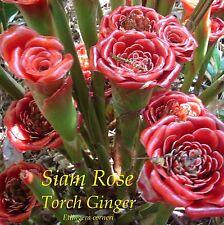 ~Siam Rose~ Etlingera corneri Collector's Torch Ginger 100 Special Rare Seeds