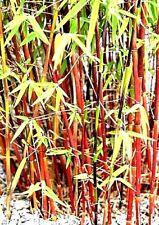 Der winterharte rote Bambus Red Panda der richtige Kontrastgeber in Ihrem Garten