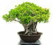 Mini Banyan Tree 100 PCS  Evergreen Bonsai Plants Home Garden  High Quality