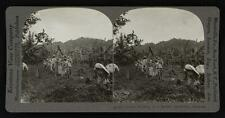 Photo:Coolies working on a banana plantation,Jamaica