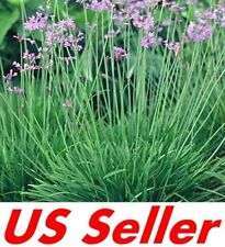 15 Seeds Society Garlic Seeds E113, Heirloom Vegetable Tulbaghia Violacea Seeds
