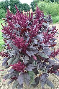 Amarant (Amaranth) * mehr als 2000 Samen * Fuchsschwanz, violett, lila dunkelrot