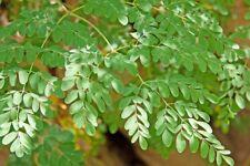 Moringa Oleifera.50 Grammi di semi.L'albero che purifica,che guarisce,salute