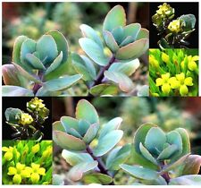 (20) Kalanchoe Grandiflora Seeds - Giant Yellow Kalanchoe - Comb. S&H