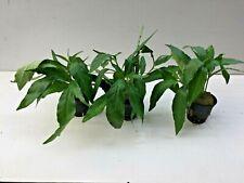 3Topf Justicia Gendarussa,Chichlidenkraut,Barschfest Aquarienpflanzen 2,95€/Stk