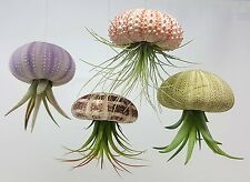 hanging air plant jelly fish purple urchin