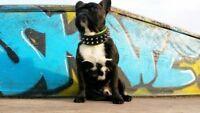 BESTIA Frenchie studded dog collar, XXS to XXL, spiked. puppies. french bulldog