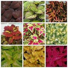 100Pcs Coleus Flower Seeds 10 Kinds Home Garden Charming Lovely Unusual Plants