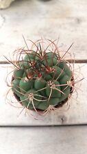 GYMNOCALYCIUM SAGLIONE 5,5 pot Cactus vivo Kakteen Live Cactus