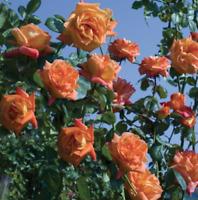 Rose Cimbing Flower Plant Seed Orange Flower Courtyard Bonsai Plant Seed 100 Pcs