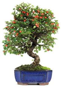Zwergmispel Bonsai Cotoneaster sp. 35-40 cm 12 Jahre