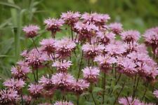 3 x Beauty of Cobham Butterfly Plant Pale Pink Late fragrant Medicinal Bee Balm