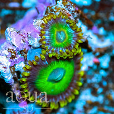 New listing Asd - 080 Wicked Aliens Zoanthids - Wysiwyg - Aqua Sd Live Coral Frag
