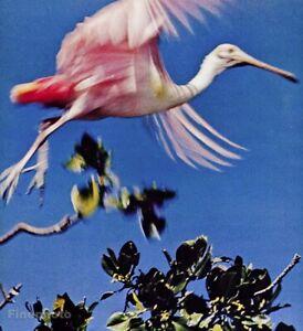 1966 Everglades Pink Bird Roseate Spoonbill By Alfred Eisenstaedt Vintage Photo