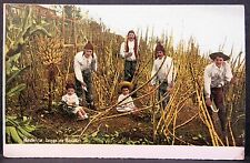 1900s Madeira Men with Children Cutting Sugar Cane, Portugal Pc