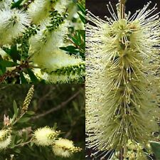LEMON BOTTLEBRUSH (Callistemon Pallidus) SEEDS 'Bush Tucker Plant'