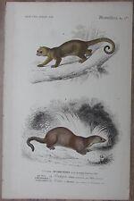 Orbigny: Honey bear, Kinkajou, Potos caudivolvulus - 1849