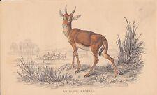 Antilope Gazella Kevella altkolorierter STAHLSTICH von 1837 Gazelle Zoologie
