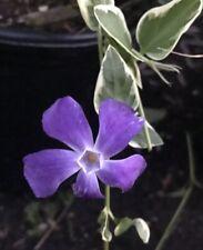 Live Plant- Variegated Vinca Big leaf Periwinkle Vine Myrtle Purple Flower