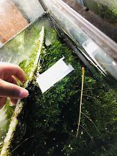 Java Moss!! Beginner Aquarium Plant!!