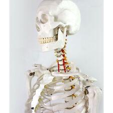 Medical Full Body Anatomical Human Skeleton Model on Stand