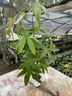 Braided Money Tree Live Plant 18-24 Tall - Feng Shui Plant & Good Luck