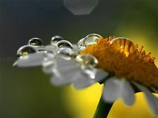 NATURE PHOTO DAISY WATER DROP FLOWER POSTER ART PRINT PICTURE BB153A