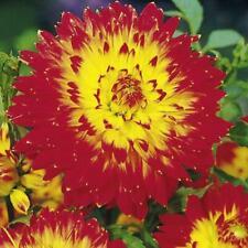 Decorative Dahlia 'Procyon' W.P.C. Prins Quality Flowering Bulbs & Tubers