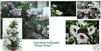 ♥ schnellw. Kletterpflanze Wanga-Wanga..Zauberhaft