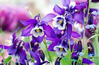 Pflanzen Samen winterhart frosthart Garten Exoten Sämereien Blume AKELEI