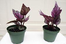 "Begonia Rex Pflanze 4"" Kübel"